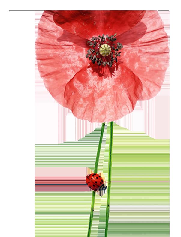 bloem-lieveheersbeestje3