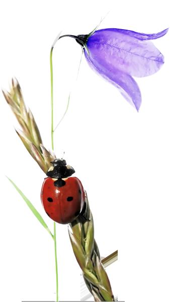 bloem-lieveheersbeestje6